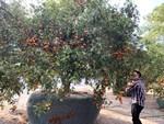Cây bưởi cổ thụ thế bạt phong hồi đầu giá trăm triệu gây sốt ở Hưng Yên-12