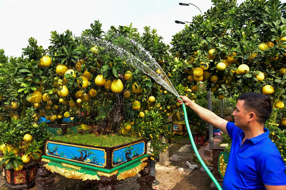 Cây bưởi cổ thụ thế bạt phong hồi đầu giá trăm triệu gây sốt ở Hưng Yên-9