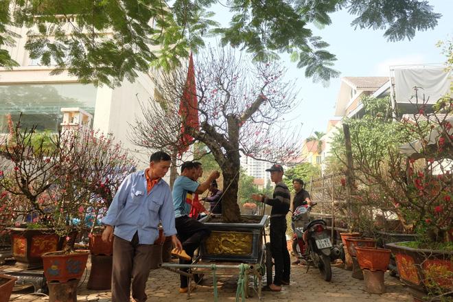 Dân buôn nhấp nhổm sợ mất Tết vì đào cảnh nở gần hết hoa, dài cổ chờ khách-12