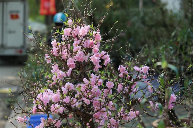 Dân buôn nhấp nhổm sợ mất Tết vì đào cảnh nở gần hết hoa, dài cổ chờ khách-2