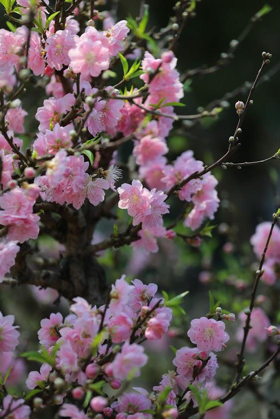 Dân buôn nhấp nhổm sợ mất Tết vì đào cảnh nở gần hết hoa, dài cổ chờ khách-3