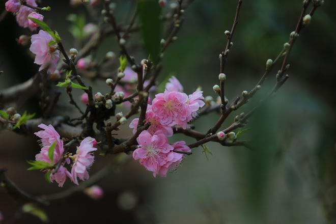 Dân buôn nhấp nhổm sợ mất Tết vì đào cảnh nở gần hết hoa, dài cổ chờ khách-4
