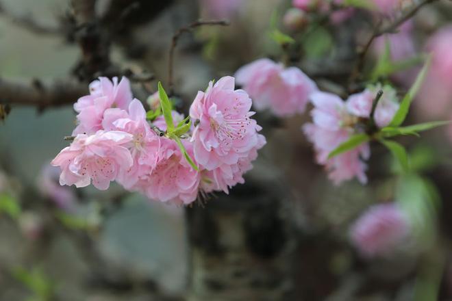 Dân buôn nhấp nhổm sợ mất Tết vì đào cảnh nở gần hết hoa, dài cổ chờ khách-5