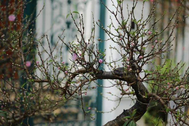 Dân buôn nhấp nhổm sợ mất Tết vì đào cảnh nở gần hết hoa, dài cổ chờ khách-6