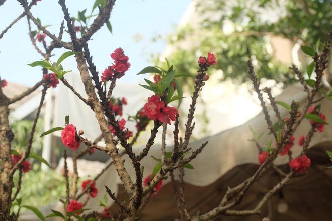 Dân buôn nhấp nhổm sợ mất Tết vì đào cảnh nở gần hết hoa, dài cổ chờ khách-7