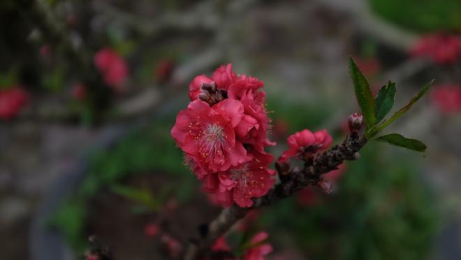 Dân buôn nhấp nhổm sợ mất Tết vì đào cảnh nở gần hết hoa, dài cổ chờ khách-8