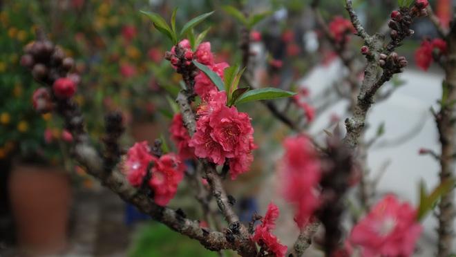 Dân buôn nhấp nhổm sợ mất Tết vì đào cảnh nở gần hết hoa, dài cổ chờ khách-9