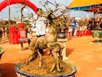 Nhất chi mai to nhiều tiền, dân sành Hà thành mua cây nhỏ để bàn chơi Tết-11
