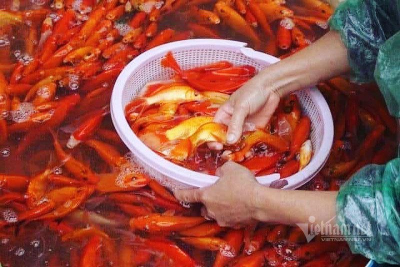 Chợ Hà Nội, khắp nơi đỏ rực một màu cá chép-5