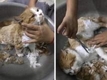Sau vài đường kéo của cô chủ, mèo con