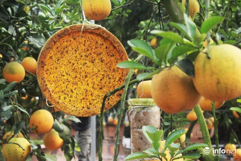 Vườn cây ghép 10 loại quả tiền tỷ, độc nhất vô nhị chỉ phục vụ chơi Tết-9