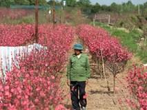 Xót xa vựa đào Nhật Tân nở hoa đỏ rực trước Tết, người dân ngậm ngùi hái bỏ cả nghìn bông