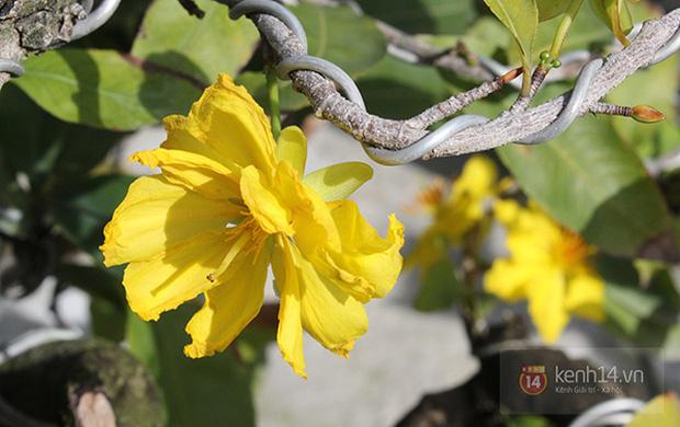 Ăn bao cái Tết nhưng bạn có biết vì sao miền Bắc chưng hoa đào còn miền Nam lại chuộng hoa mai không?-4