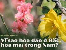 Ăn bao cái Tết nhưng bạn có biết vì sao miền Bắc chưng hoa đào còn miền Nam lại chuộng hoa mai không?