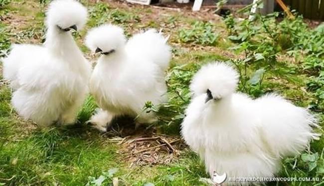 Loài gà kì quái, chân 5 ngón dị thường, dân chơi chi 10 triệu đưa về nhà-5