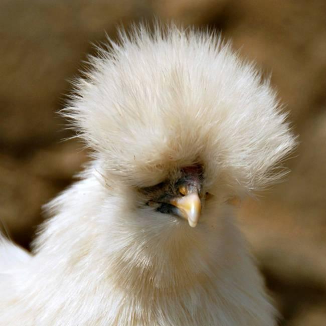 Loài gà kì quái, chân 5 ngón dị thường, dân chơi chi 10 triệu đưa về nhà-7