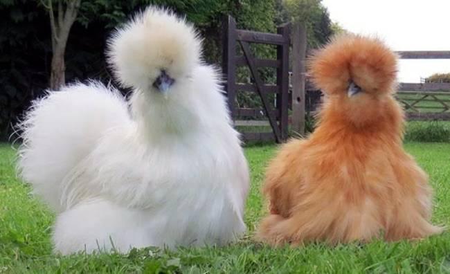 Loài gà kì quái, chân 5 ngón dị thường, dân chơi chi 10 triệu đưa về nhà-8
