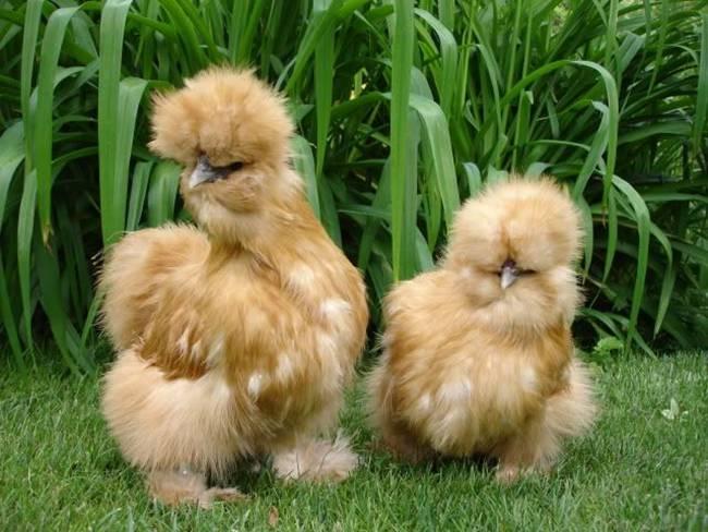 Loài gà kì quái, chân 5 ngón dị thường, dân chơi chi 10 triệu đưa về nhà-10