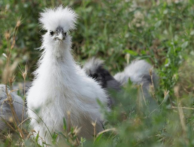 Loài gà kì quái, chân 5 ngón dị thường, dân chơi chi 10 triệu đưa về nhà-12