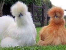 Loài gà kì quái, chân 5 ngón dị thường, dân chơi chi 10 triệu đưa về nhà