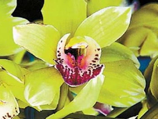 Loại hoa cực hiếm, 5 năm mới nở, gần 5 tỷ/cây, đại gia cũng khó mua-5