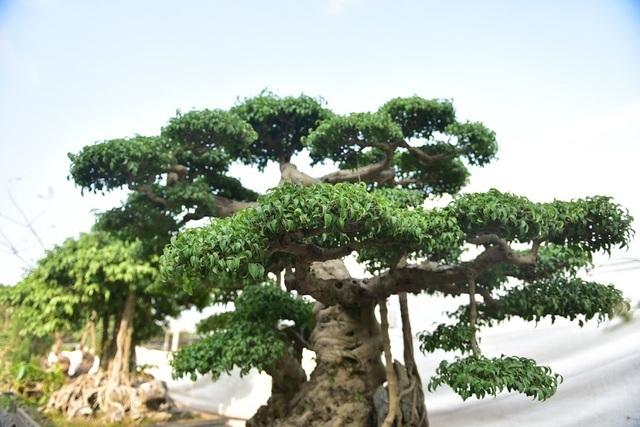 Khách trả 1 triệu USD đổi lấy cây sanh cổ, chủ nhân quyết không bán-3