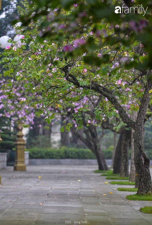 Những ngày ảm đạm vì dịch bệnh và mưa rét, chẳng ai nhận ra hoa ban tím ở Hà Nội đã lặng lẽ bung nở từ khi nào-2