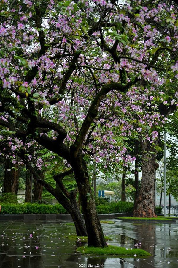 Những ngày ảm đạm vì dịch bệnh và mưa rét, chẳng ai nhận ra hoa ban tím ở Hà Nội đã lặng lẽ bung nở từ khi nào-3