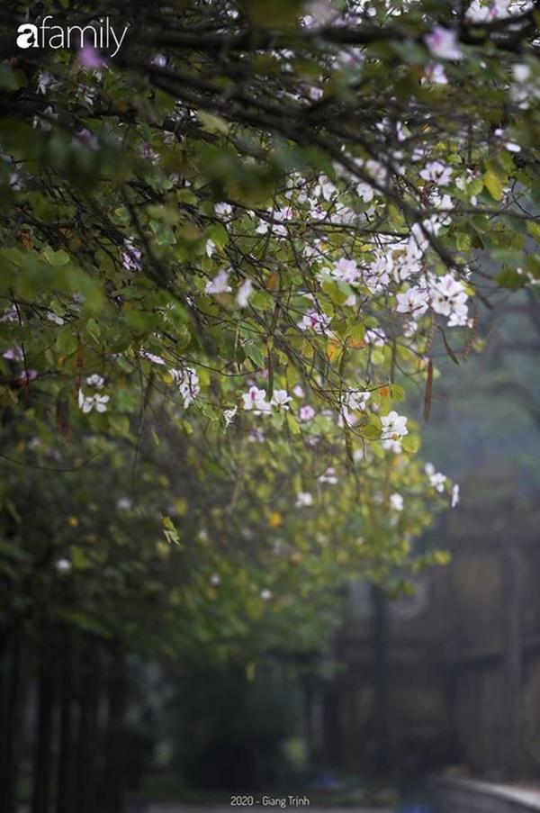 Những ngày ảm đạm vì dịch bệnh và mưa rét, chẳng ai nhận ra hoa ban tím ở Hà Nội đã lặng lẽ bung nở từ khi nào-7