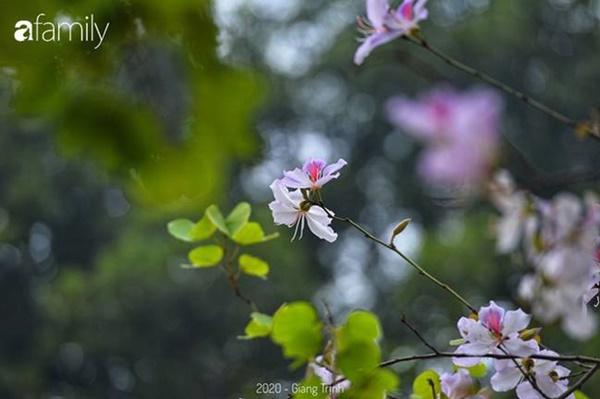 Những ngày ảm đạm vì dịch bệnh và mưa rét, chẳng ai nhận ra hoa ban tím ở Hà Nội đã lặng lẽ bung nở từ khi nào-8