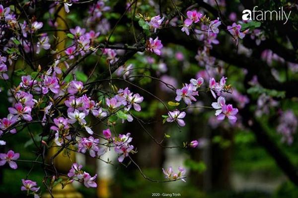 Những ngày ảm đạm vì dịch bệnh và mưa rét, chẳng ai nhận ra hoa ban tím ở Hà Nội đã lặng lẽ bung nở từ khi nào-9