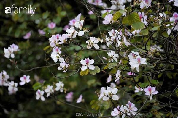 Những ngày ảm đạm vì dịch bệnh và mưa rét, chẳng ai nhận ra hoa ban tím ở Hà Nội đã lặng lẽ bung nở từ khi nào-10