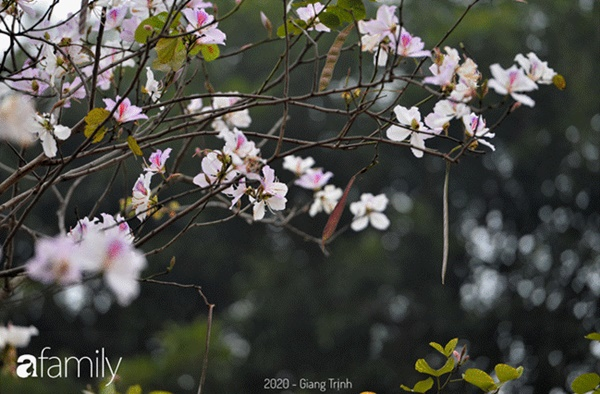 Những ngày ảm đạm vì dịch bệnh và mưa rét, chẳng ai nhận ra hoa ban tím ở Hà Nội đã lặng lẽ bung nở từ khi nào-11
