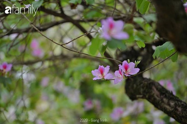 Những ngày ảm đạm vì dịch bệnh và mưa rét, chẳng ai nhận ra hoa ban tím ở Hà Nội đã lặng lẽ bung nở từ khi nào-12