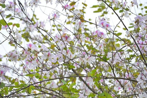 Những ngày ảm đạm vì dịch bệnh và mưa rét, chẳng ai nhận ra hoa ban tím ở Hà Nội đã lặng lẽ bung nở từ khi nào-13