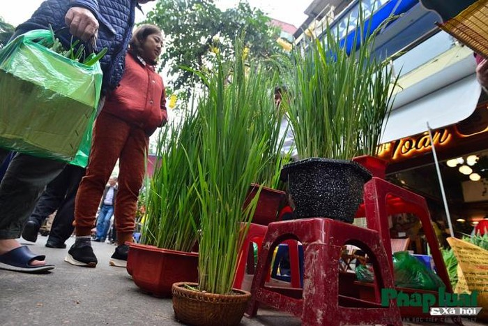 Ngỡ ngàng với lúa cảnh bonsai trên phố-2