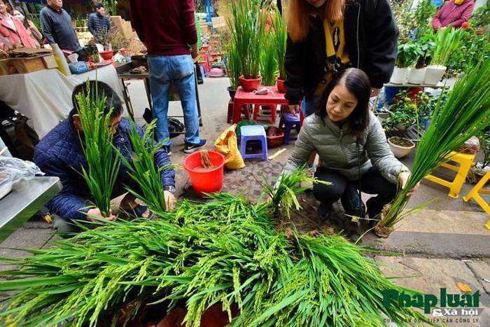 Ngỡ ngàng với lúa cảnh bonsai trên phố-5