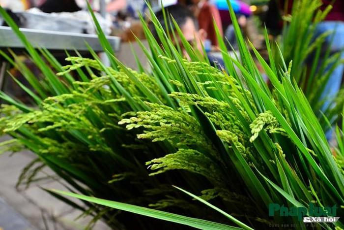 Ngỡ ngàng với lúa cảnh bonsai trên phố-6