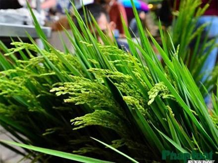Ngỡ ngàng với lúa cảnh bonsai trên phố