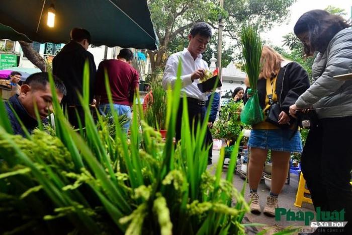 Ngỡ ngàng với lúa cảnh bonsai trên phố-8