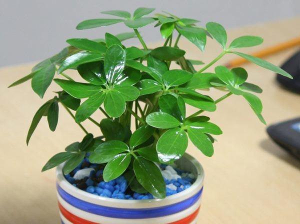6 loại cây gọi tài lộc, đầu năm nhất định phải mua đặt bàn làm việc-3
