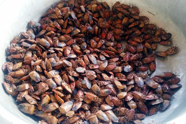 Khu chợ côn trùng bán đầy bọ xít, châu chấu hiếm có Việt Nam