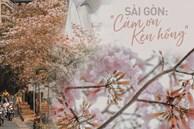 Sài Gòn trở nên khác lạ khi hoa Kèn hồng nở rộ, lạ thay đến hơn nửa người Sài Gòn chẳng biết đến sự tồn tại của loài hoa này?