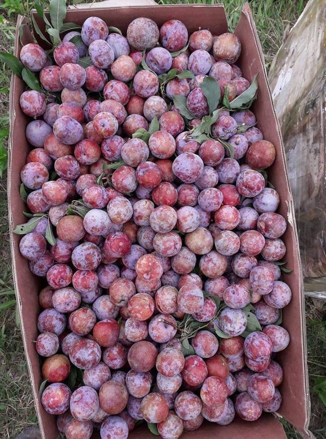Loạn giá mận Mộc Châu trái mùa bán trên chợ mạng, tiểu thương nhét túi vài triệu/ngày-11