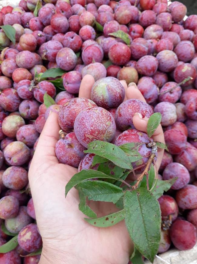 Loạn giá mận Mộc Châu trái mùa bán trên chợ mạng, tiểu thương nhét túi vài triệu/ngày-12