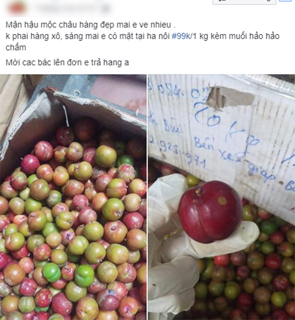 Loạn giá mận Mộc Châu trái mùa bán trên chợ mạng, tiểu thương nhét túi vài triệu/ngày-3