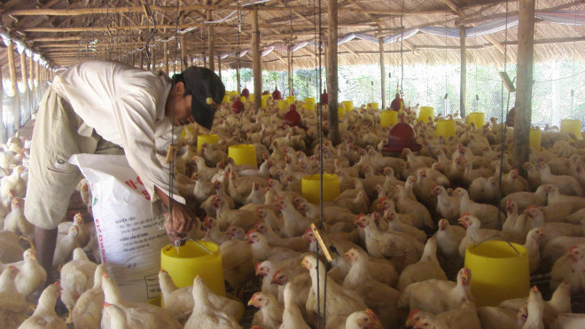 Giá thịt gà rớt thảm hại, thấp hơn giá rau muống-2