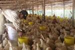Bán một lứa gà, chủ trang trại mất ngay biệt thự-4