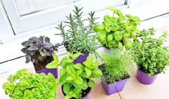 Nhà nhiều gián bạn hãy trồng ngay những loại cây này-3