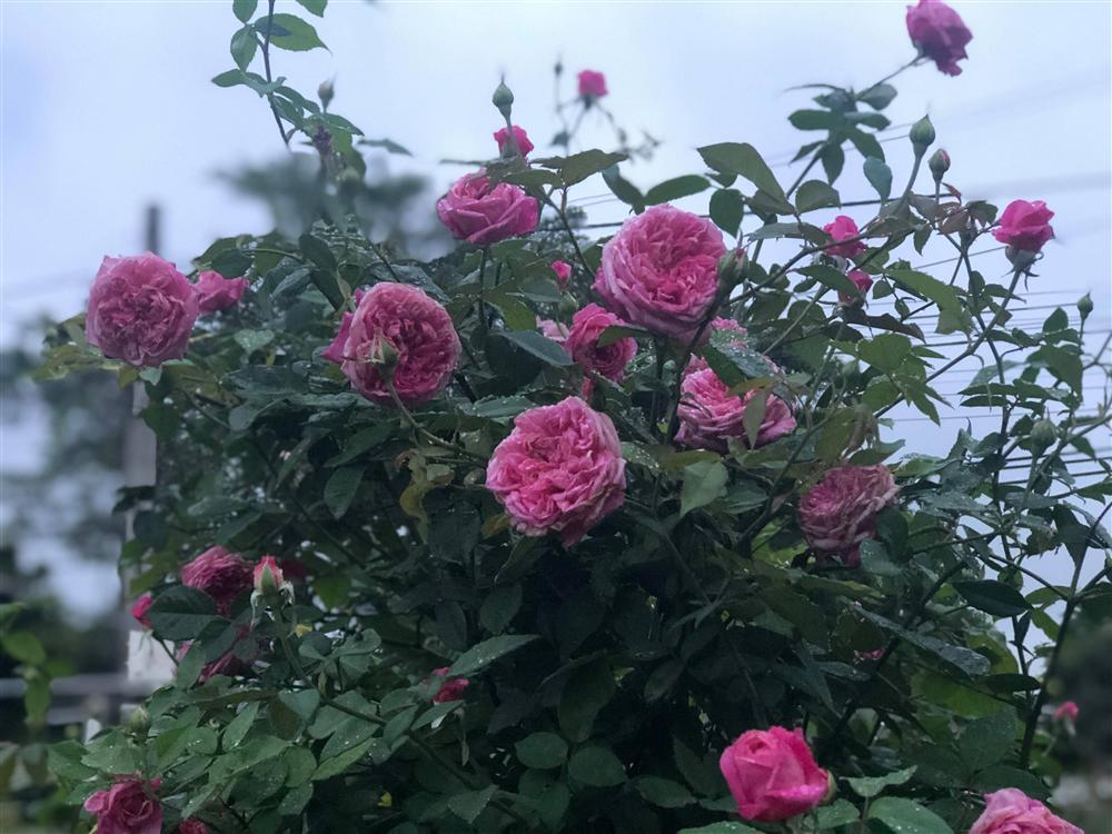 Vườn hồng 400 loài đẹp ngẩn ngơ của kỹ sư bỏ phố về núi-3
